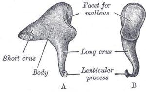 耳の図解:目からうろこの耳寄り情報